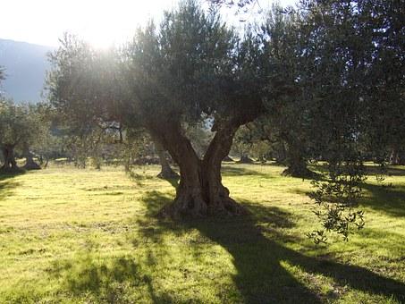 olive-trees-340844__340.jpg
