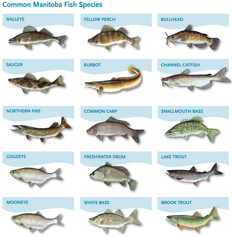 Common_Manitoba_Fish_Species.png