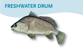 Freshwater-Drum.png